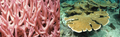 less resistant coral species