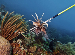 removing lionfish