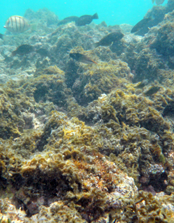macroalgae covers reef in oahu