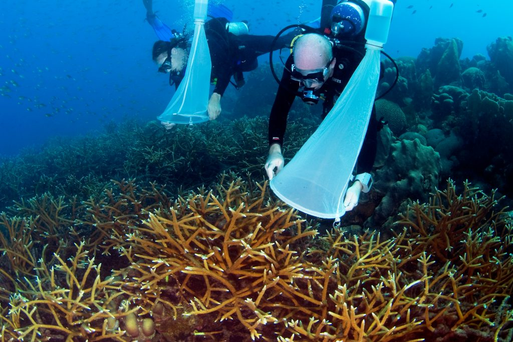 Collecting coral gametes from Acropora corals. Photo © Barry Brown/SECORE International