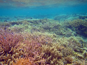 A reef area and overturned coral heads that have been restored with transplanted corals.  © Reef Explorer Fiji Ltd.