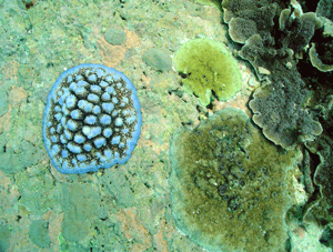 Long-term recovery from bleaching depends on larvae recruitment from source reefs. Photo © S. Wear