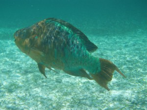 Rainbow parrotfish (Scarus guacamaia), the largest herbivorous fish in the Caribbean.  Photo © Julio Maaz (WCS).