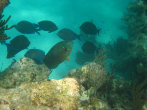 Stoplight parrotfish (Sparisoma viride) with blue tangs, which are also protected grazers © Virginia Burns (WCS).