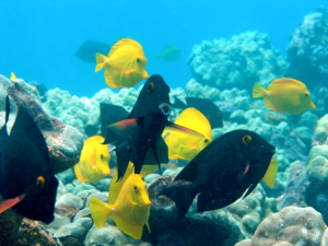 Beneficial herbivorous fishes now fully protected within the KHFMA © Hawai'i DLNR
