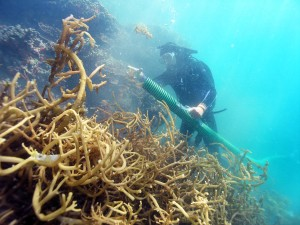 Divers using the Super Sucker to remove invasive seaweed © Hawai'i DLNR