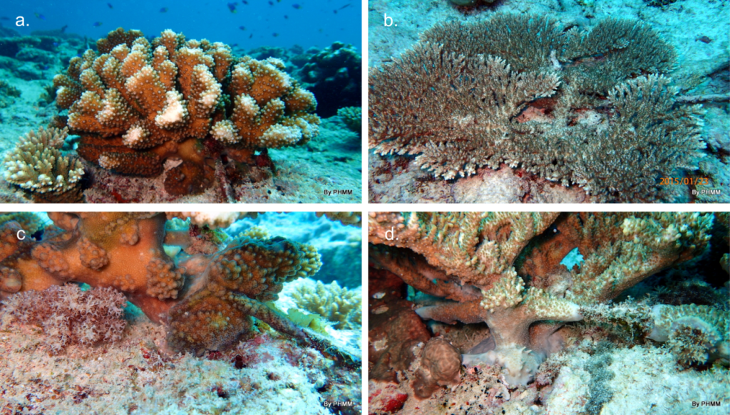 Coral colonies self-attaching. © Reef Rescuers