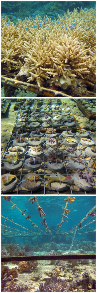 Various methods have been used to grow out coral fragments: Top - cone & rack nursery, Middle - disc & frame nursery, and Bottom - rope nursery. Currently, the middle and bottom methods are being used at the five coral nursery sites. © Reef Explorer Fiji Ltd.