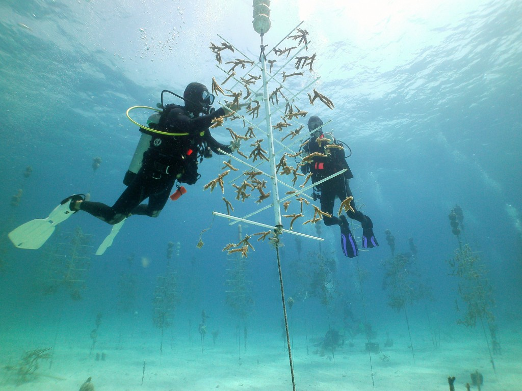 Volunteer divers working in the Coral Restoration Foundation Tavernier Nursery off of Key Largo, Florida. Photo © Coral Restoration Foundation