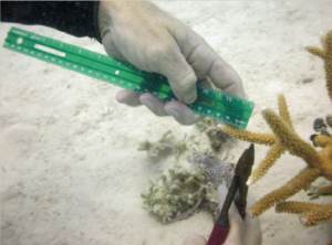 Collecting fragments from Acropora cervicornis Photo © Ken Nedimeyer