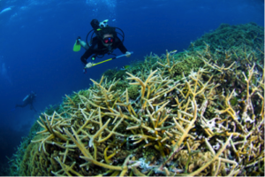 Staghorn coral and diver. Photo © Dano Pendygrasse
