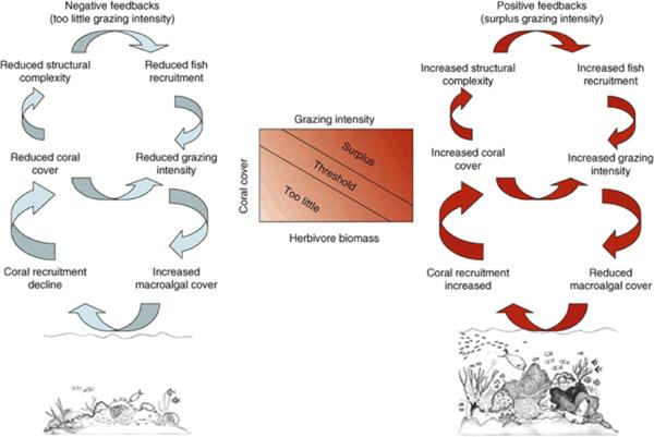 "Feedback loops that produce the ""biotic death spiral"" versus the resilience of a healthy coral reef The biotic interactions producing positive or negative feedbacks that drive a reef toward either an unhealthy state of seaweed dominance, with declining corals, fishes, and structural complexity (left side of image), or toward a resilient healthy state of coral dominance, with few seaweeds, many fishes, and a high structural complexity formed by coral growth (right side of image). Rate of herbivory is the critical interaction determining whether the feedback is positive or negative. ref"
