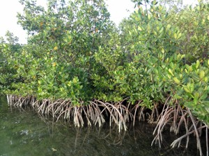Mangroves offer coastal protection. Photo © TNCMangroves offer coastal protection. Photo © TNC