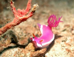 Nudibranch. Photo © Reef Guardian
