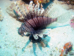 Lionfish (Pterois mile) in Palm Beach, Florida. Photo © Chip Baumberger/Marine Photobank