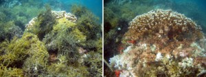 Left: Large Montipora capitata head on reef slope in Kāne'ohe Bay, O'ahu being smothered by invasive alga, Gracilaria salicornia. Right: Same coral head with the algae removed, showing the dead and severely stressed coral beneath the algal mats. Photos © Eric Conklin