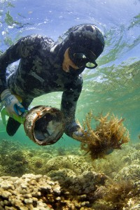 A field technician in Kaneohe Bay, Hawaiʻi cleans a coral patch blanketed by invasive algae with the Super Sucker. Photo © Ian Shive
