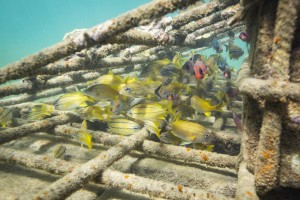 Artificial reef structures can successfully host marine life, coral fragments, and coralline algae. Photo © Tim Calver
