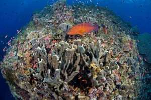 Healthy Hard Coral Reef with Anthias and Coral Grouper at Killibob's Knob dive site in Kimbe Bay of Papua New Guinea. The Coral Triangle contains 75 percent of all known coral species, shelters 40 percent of the world's reef fish species and provides for 126 million people. © Jeff Yonover