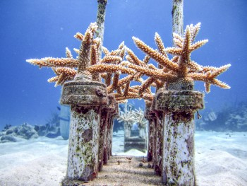 (ALL RIGHTS) August 2015. Staghorn Corals in Cane Bay, St. Croix. Photo credit: © Kemit-Amon Lewis/The Nature Conservancy
