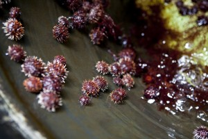 Herbivorous sea urchins mature within supervised saltwater tanks to aid in coral patch algae removal. Photo © Ian Shive